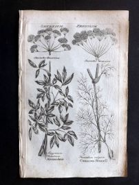 Hill & Culpeper 1792 Antique Botanical Print. Alexanders, Common Fennell